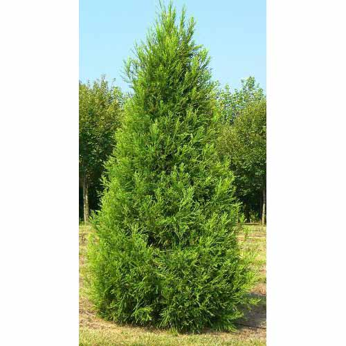 Cedar, Japanese Cryptomeria 'Yoshino' - <em>Cryptomeria japonica 'Yoshino'</em>